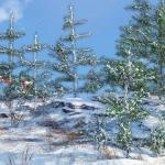 寒冬多组不同大小挂雪松树雪场景3D模型