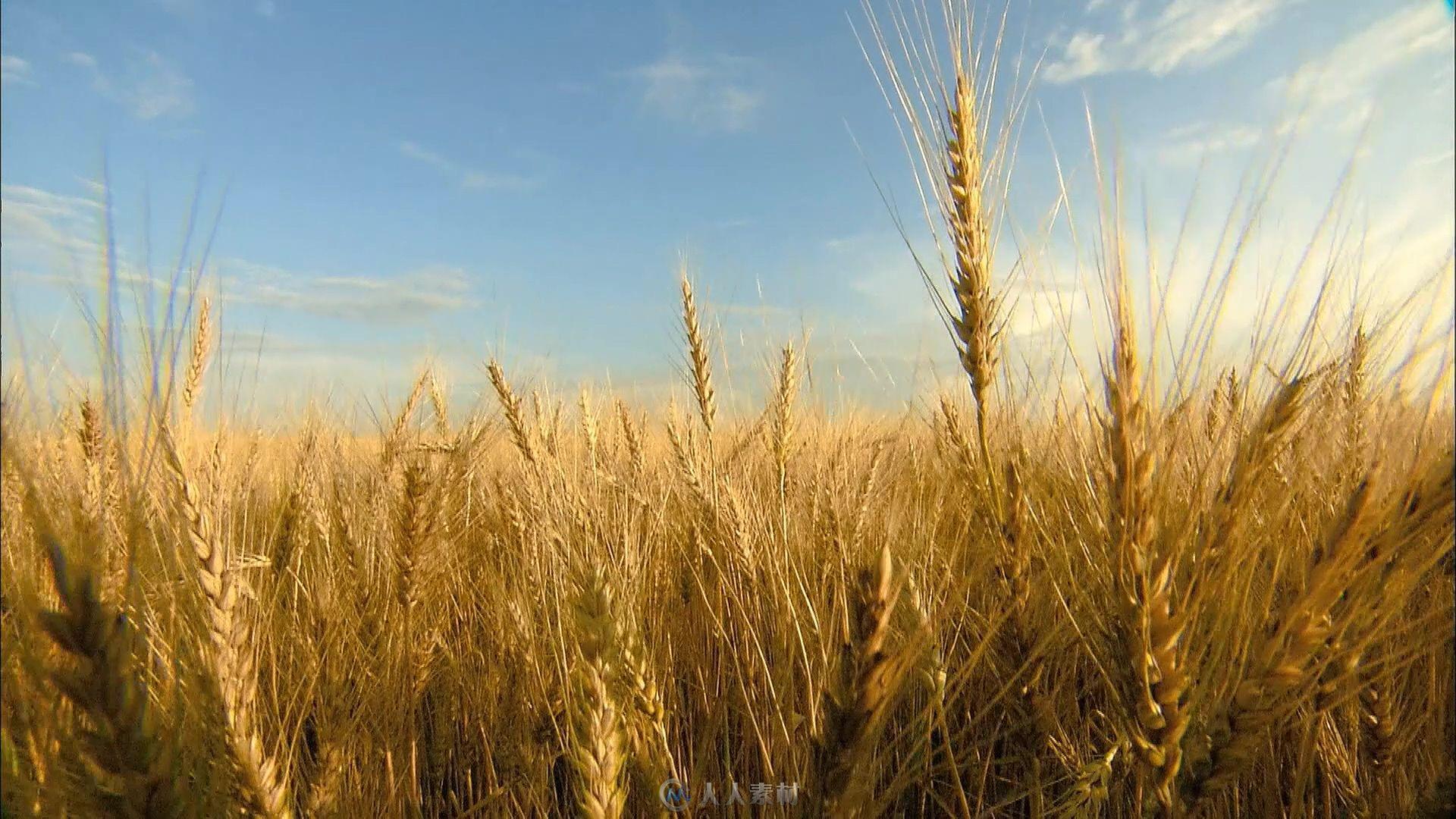 摇臂v素材丰收的庄稼地素材视频ngxn视频图片