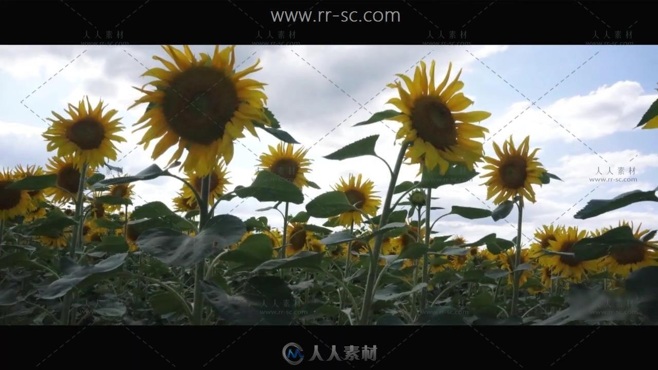 向日葵田和麦田自然美景高清实拍视频素材