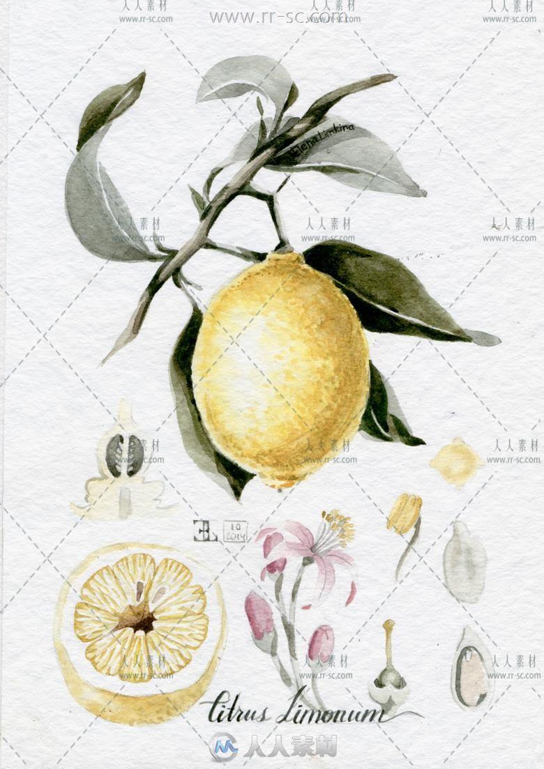 花卉植物线稿水彩画手绘临摹素材资源