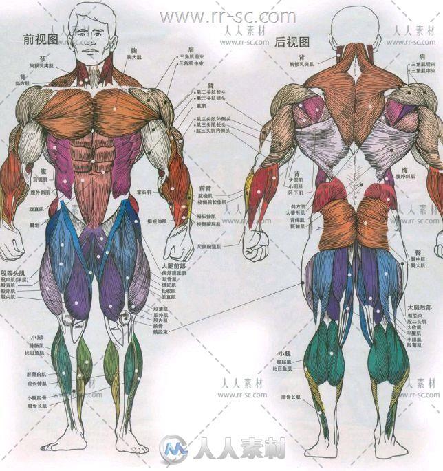 人体肌肉骨络参考素材资源