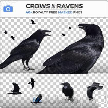 48组乌鸦飞鸟各种姿势高清参考图片合集