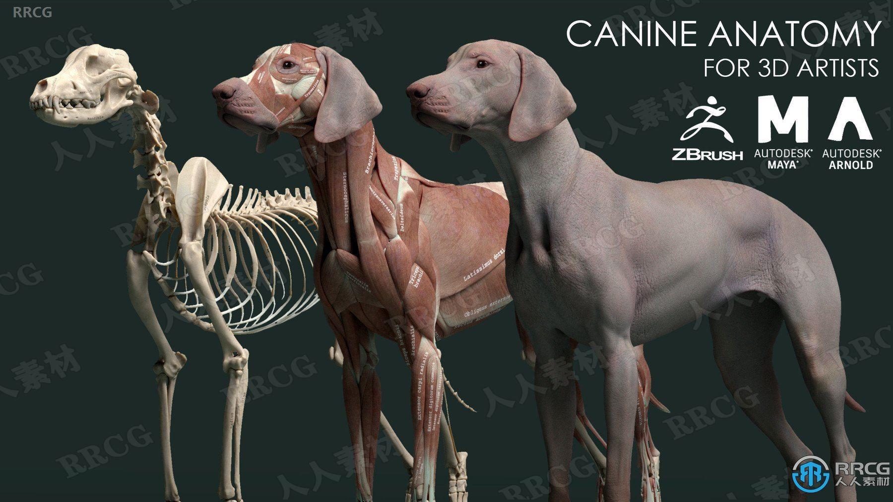 狗犬类动物皮肤肌肉骨骼解剖学高精度3D模型