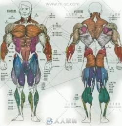 1439张带肌肉人体动作形态姿势各角度参考素材